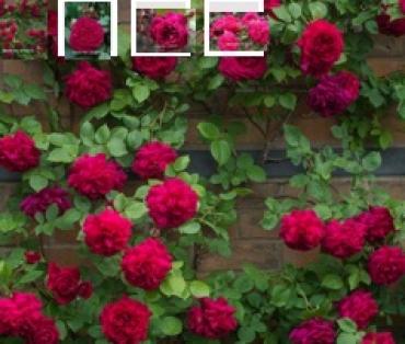 семена вьющихся роз (кустарниковые)