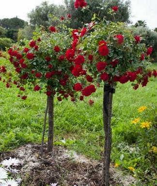 Роза красная древовидная №1