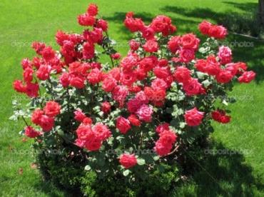 Роза красная кустарниковая №2
